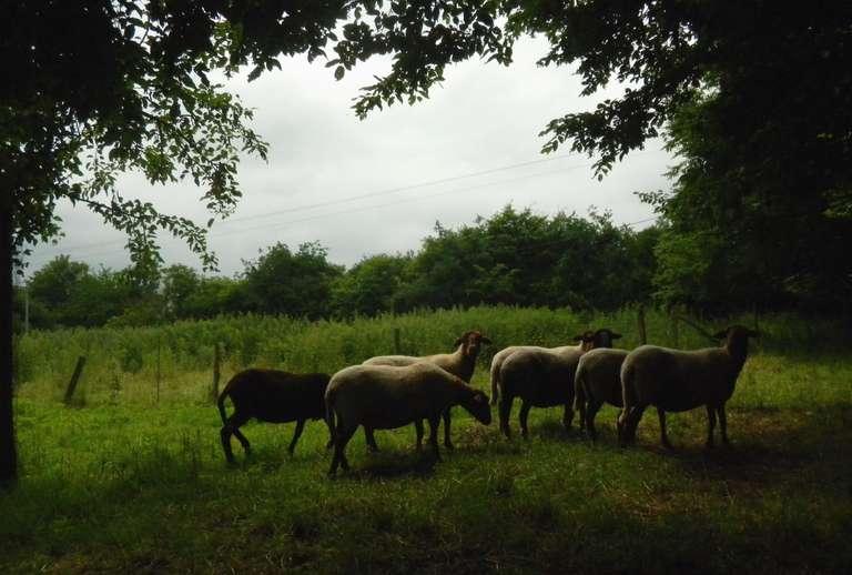 Moutons au verger