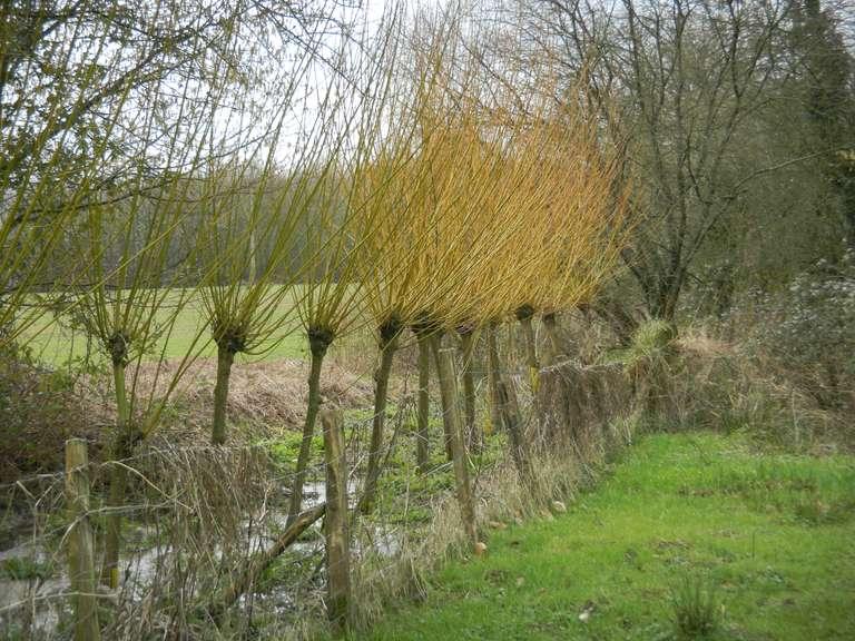 La ligne de saules osier près du ruisseau