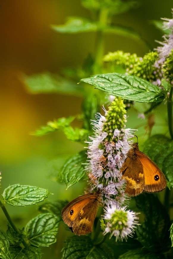 Minze und Schmetterlinge