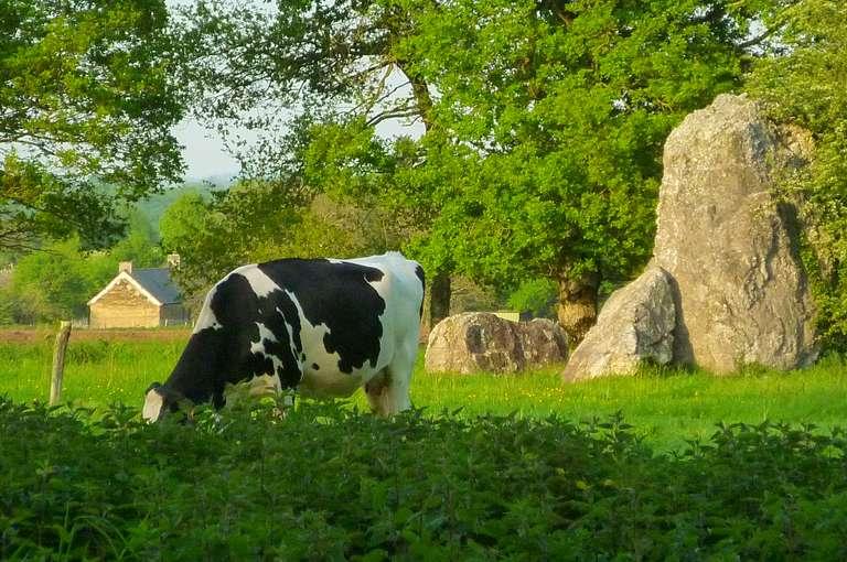 Une vache pâture entre les menhirs de Lampouy